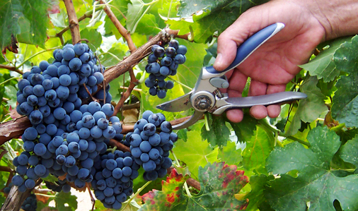 Wine Grapes in New Mexico
